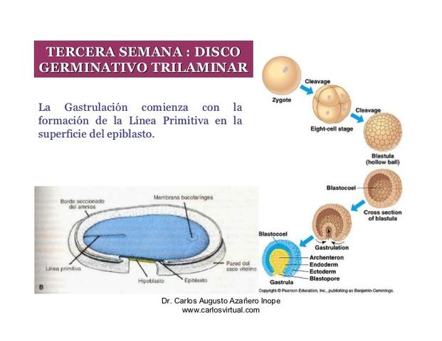 el desarrollo del bebe dentro del utero materno