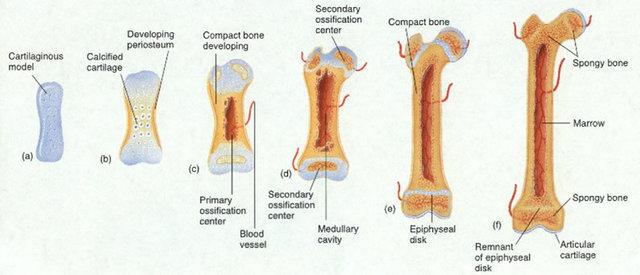 Desarrollo Óseo y Muscular