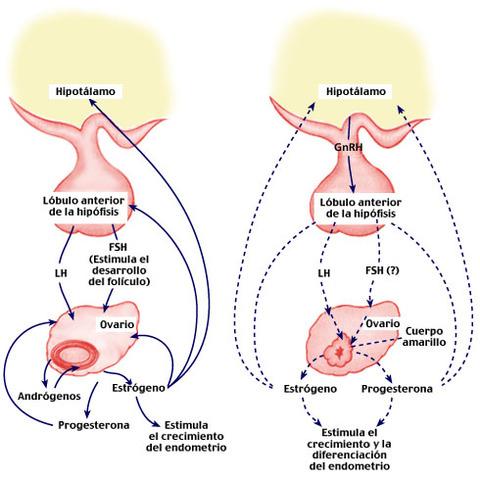 Eje hipotalamo- hipofisis- gonadal