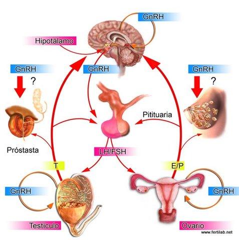 Eje hipotalamo - hipofisis- gonadal