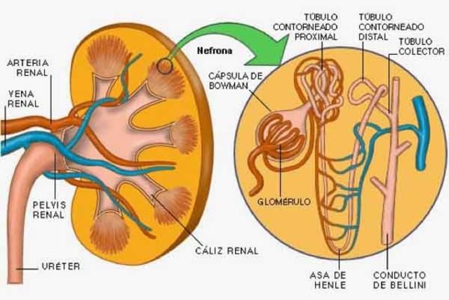 Desarollo de los organos
