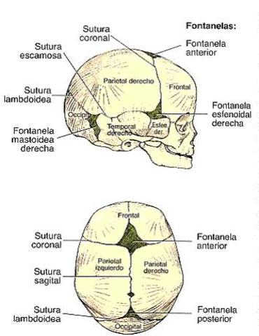 18 meses: proporciones corporales (cabeza)