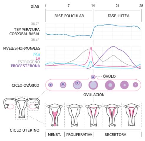 Pubertad. Ciclo menstrual y hormonal. Mujer