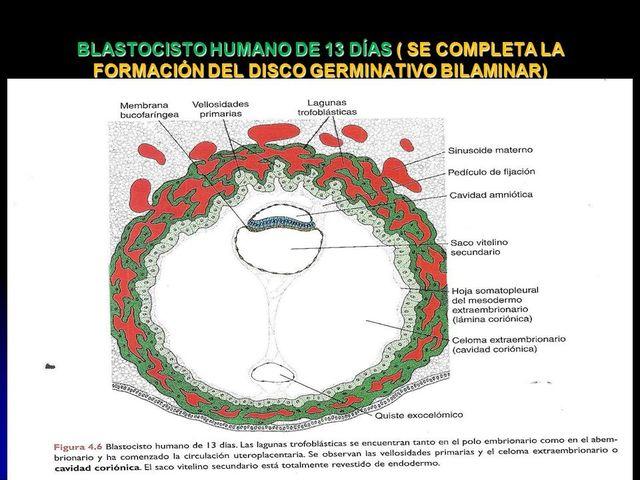 Día 13-15 Embrión trilaminar