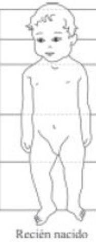 Proporciones corporales de un lactante.