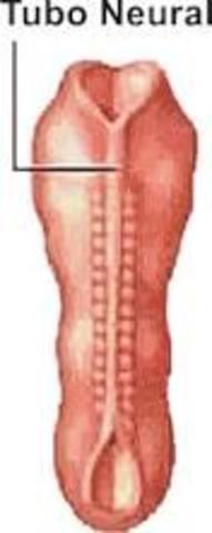 Tubo neuronal