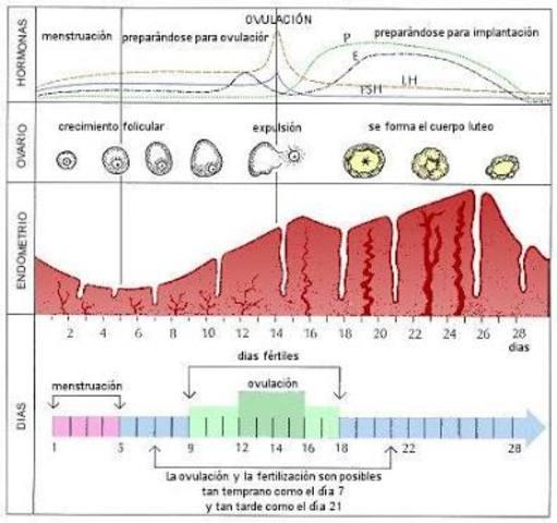 Ciclo menstrual (en mujeres)