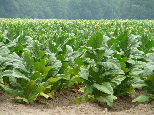 Tobacco Brought From Spain to America