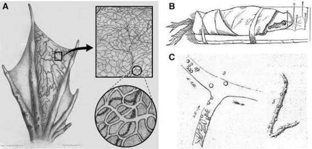 Discovery of Capillaries