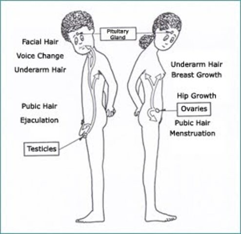 Adolescence - Puberty - Physical