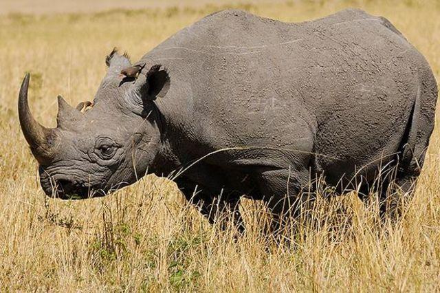 Rinoceronte de West Africa: