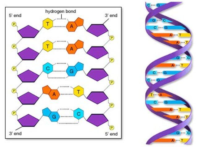 ESTRUCTURA DE L'ADN