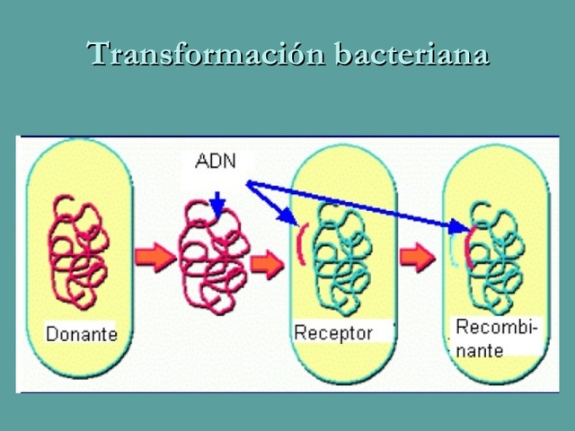 Descubrimiento de la transformacion bacteriana.