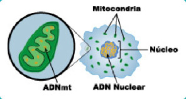 Sustancias en el nucleo (ADN). Fiedrich Miescher.