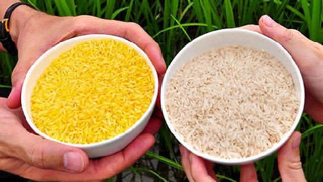 Cultivo de arroz transgénico.
