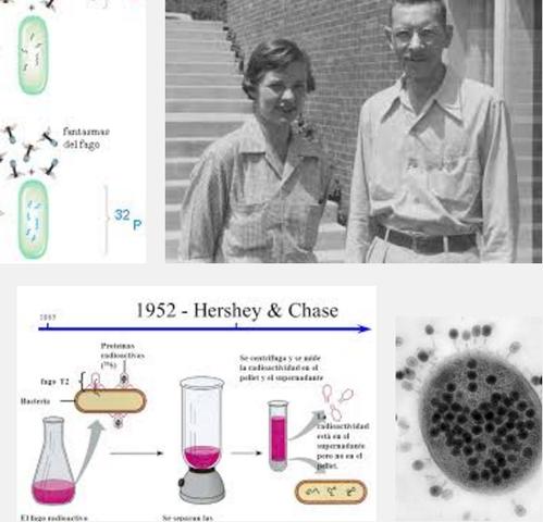 Alfred Hershey y Martha Chase : DEMUESTRAN QUE EL DNA ERA EL MATERIAL GENÉTICO DE ALGUNOS VIRUS