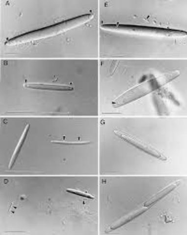 CLEMENTS Y BULLIVANT (Epulopiscium fishelsoni)