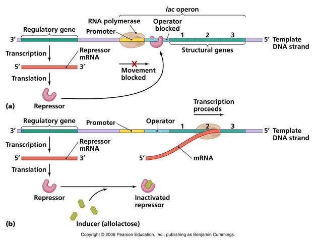El primer operón descrito fue el operón de la lactosa en Escherichia coli por F. Jacob y J. Monod