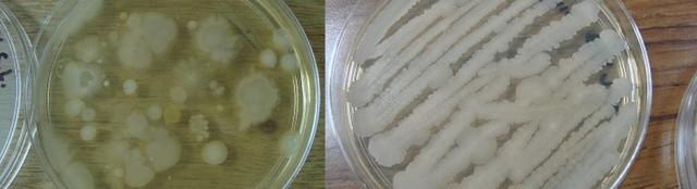 Surgimiento del agar-agar