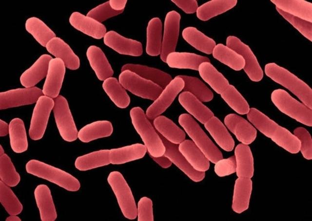 Se descubre que la bacteria Bacillus subtilis puede producir dos esporas en la misma célula madre.