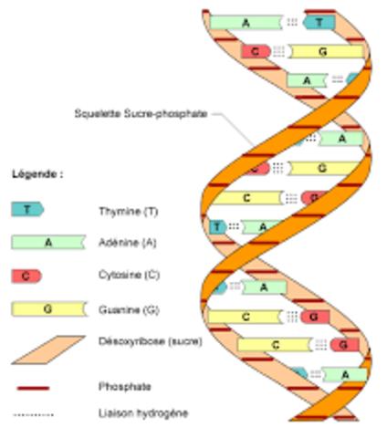 Decodificacion del ADN