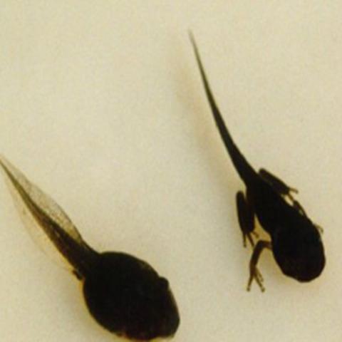 the tadpoles grow legs