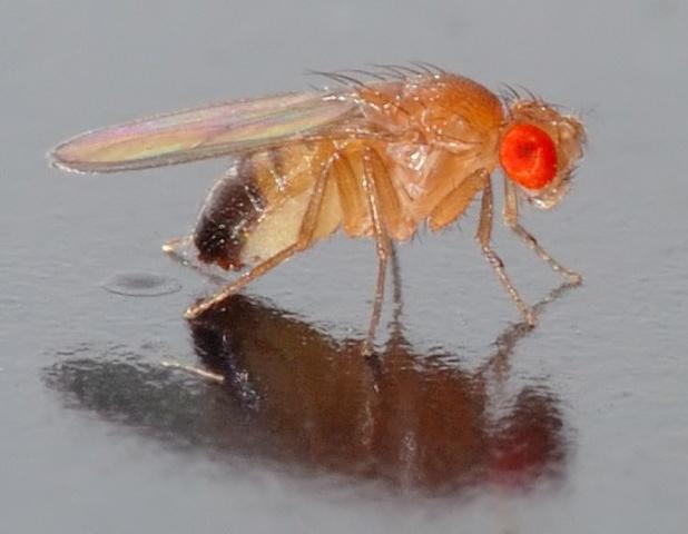 Thomas Hunt Morgan and his fruit flies