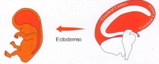Ectodermo