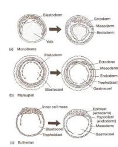Epiblastro en la gastrulación