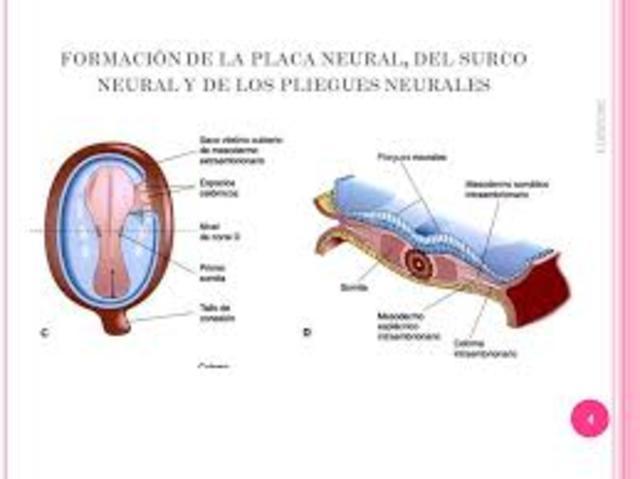 Placa neural
