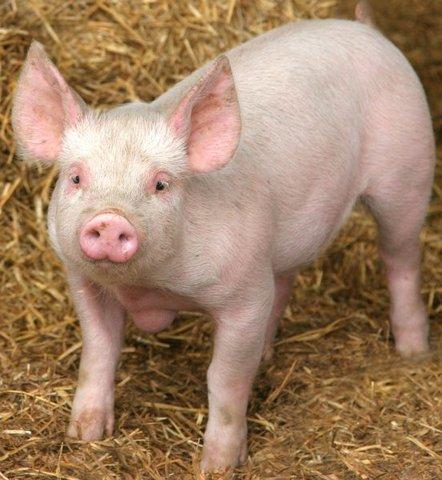 Gripe porcina en el país