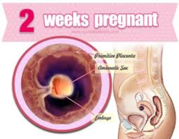 week 2 of fetal development
