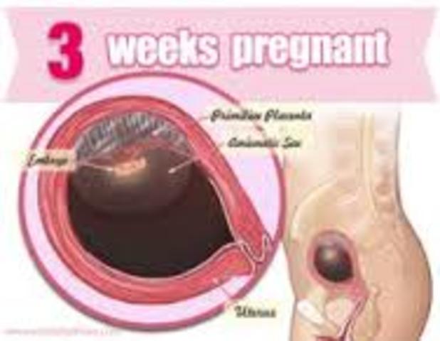 week 3 of fetal development