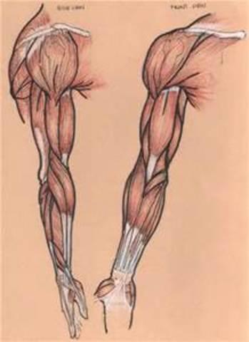 Limb Development