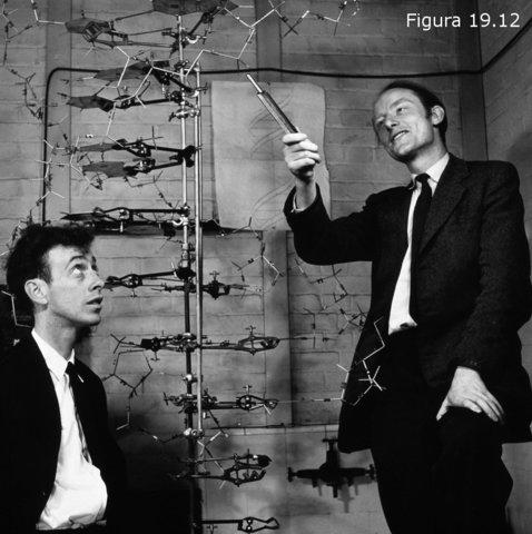 Modelo de la doble hélice de ADN.