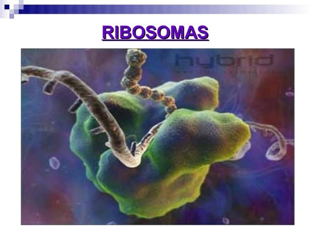 Los ribosomas