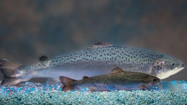 El salmon transgenico