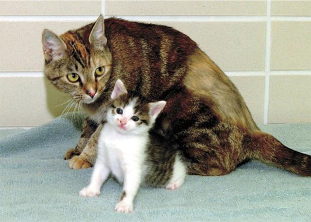 Nace en EE UU el primer gato clonado