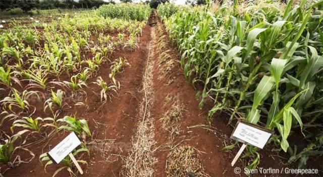 Campos de cultivo transgenicos