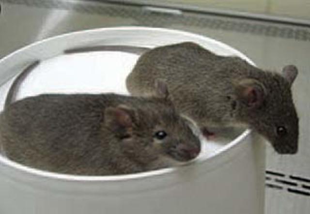 Clonación de ratones