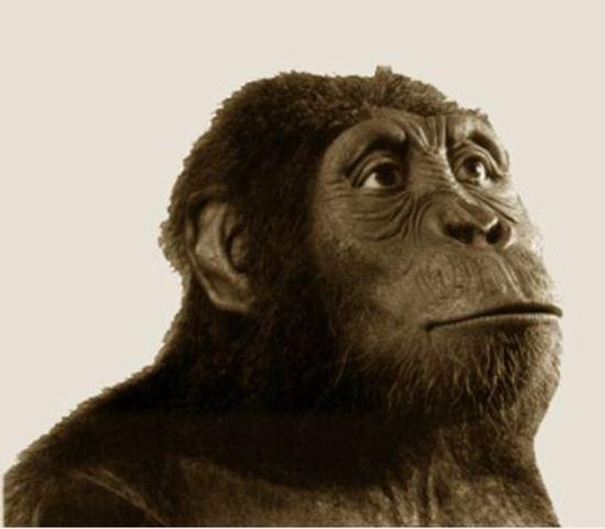 autralopithecus anamensis 1