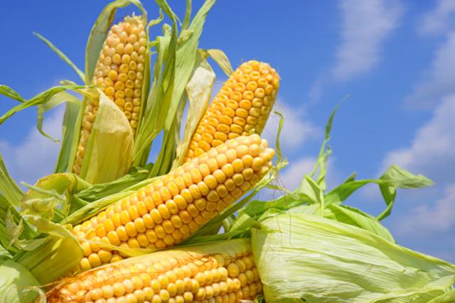 Plantas de maíz transgénicas