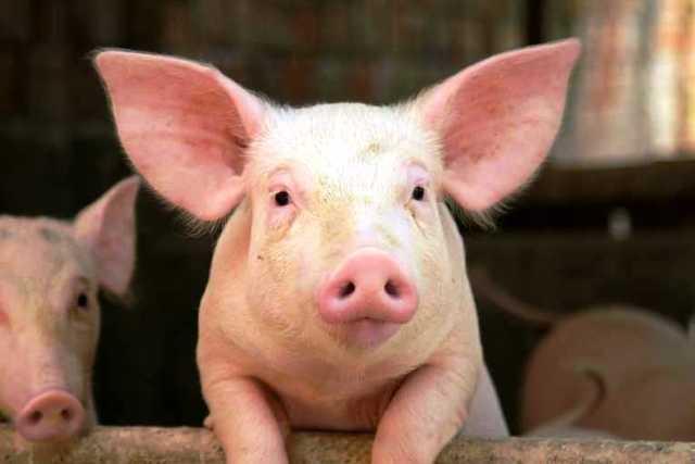 Cerdo transgénico