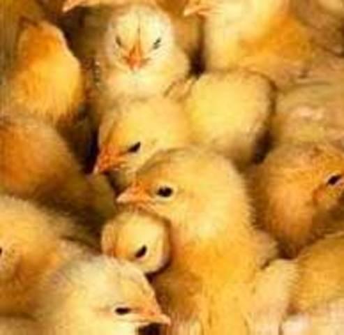 Secuencia genoma del pollo