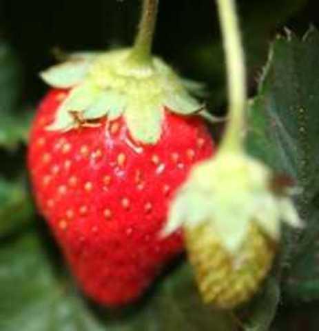 Genoma de la fresa silvestre