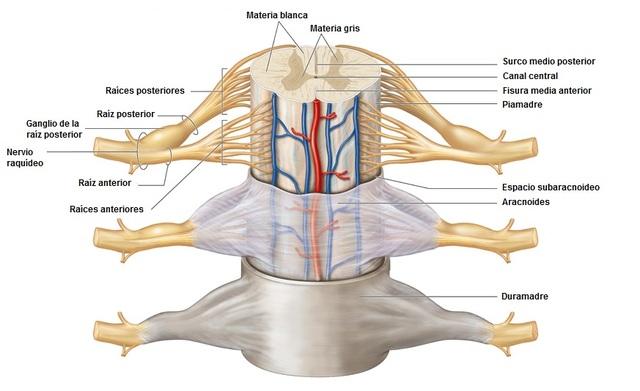 Las células madre tomadas de la nariz se manifestaron para reparar lesiones de la médula espinal