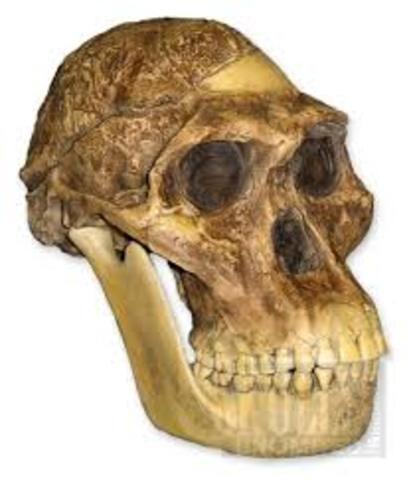 Australopithecus africanus 2