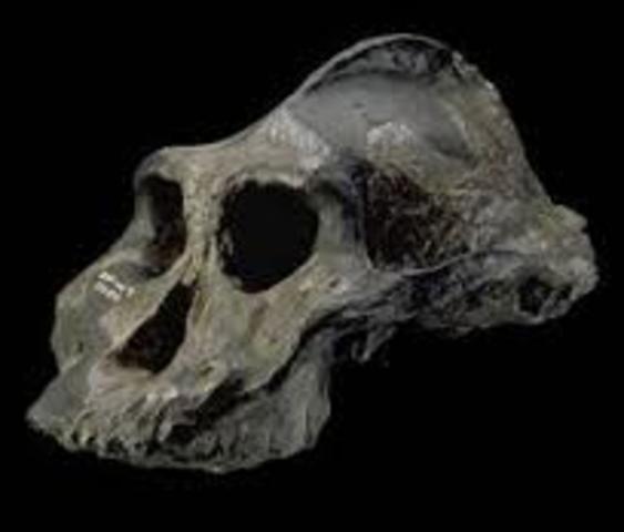 Paranthropus aethiopicus 2