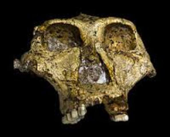 Paranthropus robustus 2
