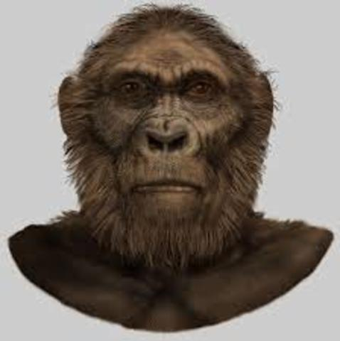 Paranthropus robustus 1